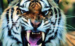 De tijger ontwaakt ! PTSS